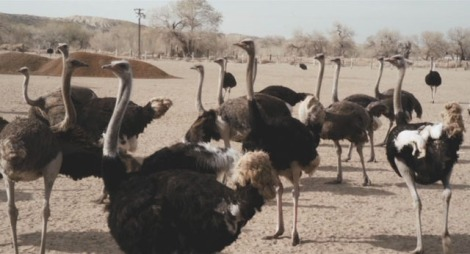 When Lynch and Herzog team up, expect ostriches